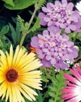 Oranjeband Bloemen zaden